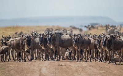 wildebeast herd